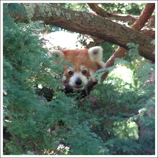 Red-panda-peeping
