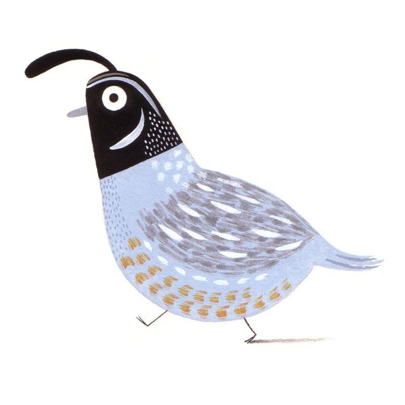 C_pym_quail